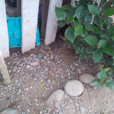 Note the dead rat under the bush